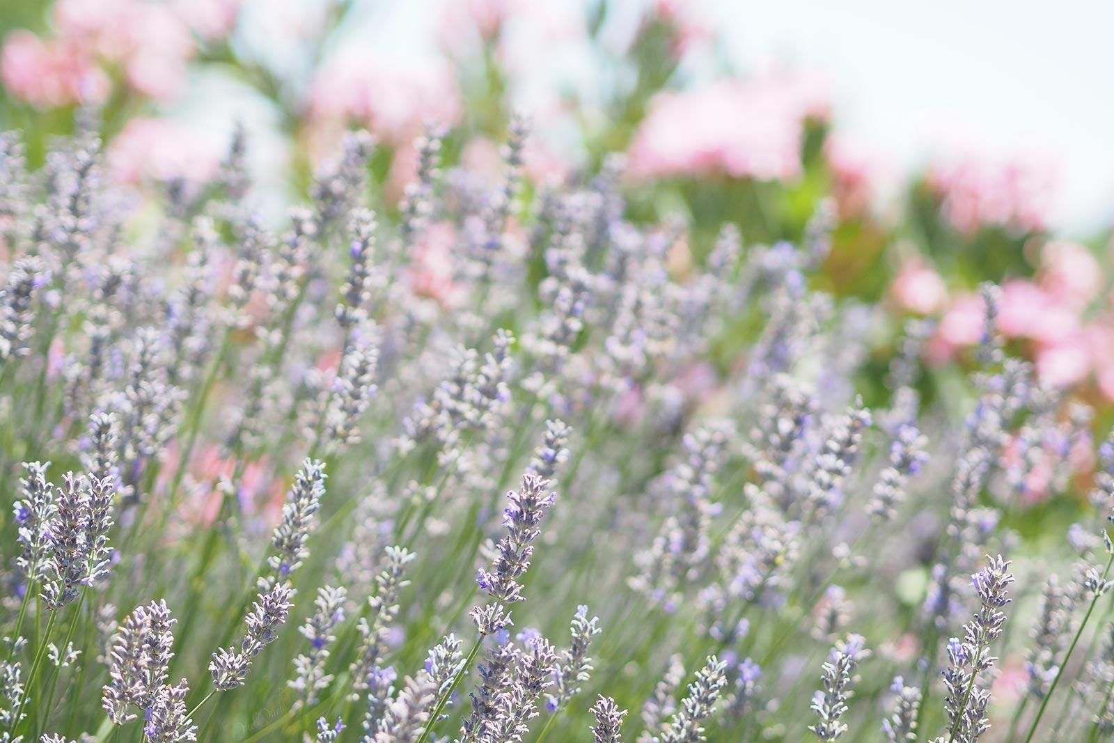 lavande jardin summermood laboutiquedemelimelo
