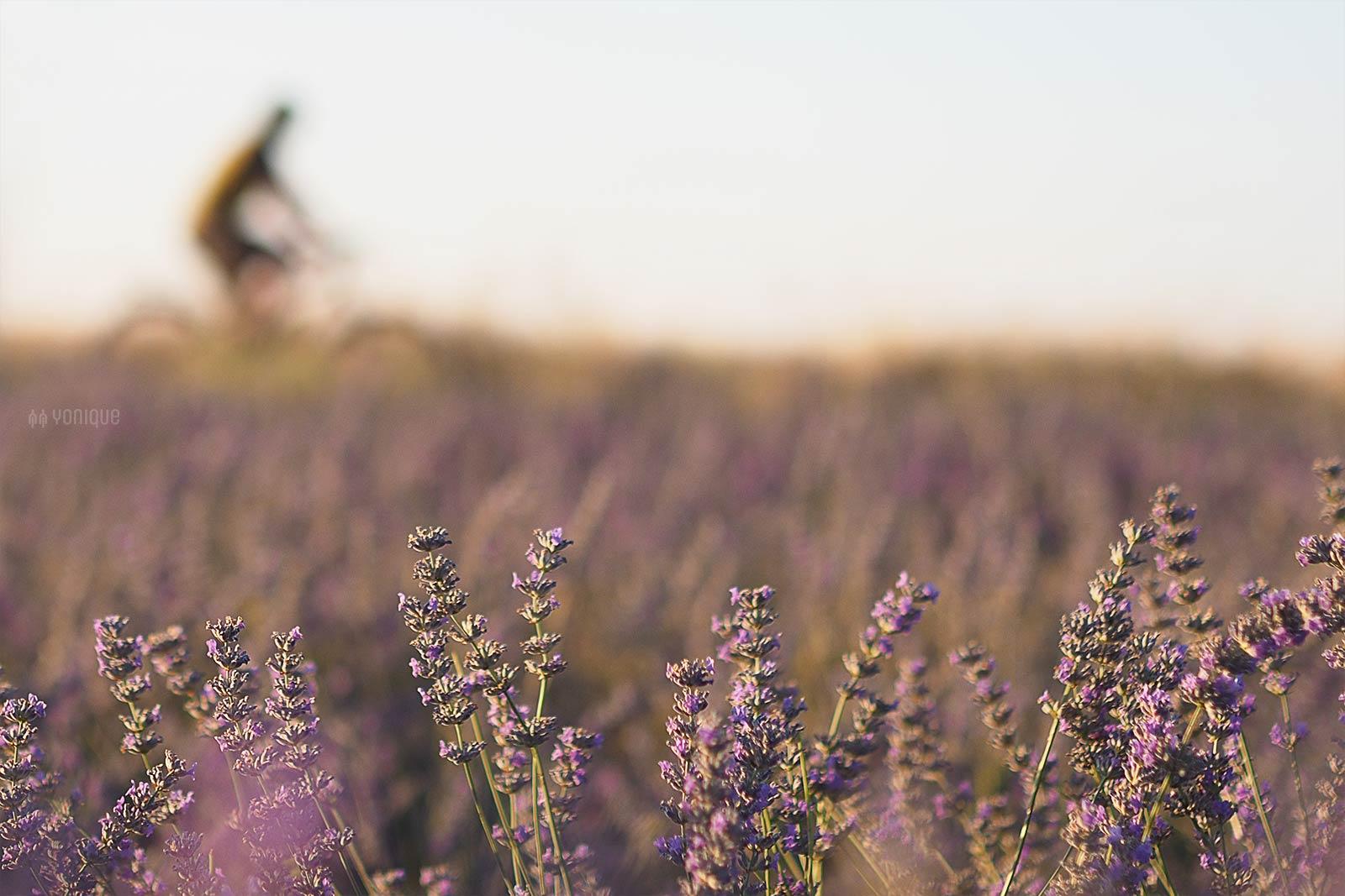 lavande-lavanda-lavandin-campos-zaratan-valladolid-agosto-yoniquenews-laboutiquedemelimelo