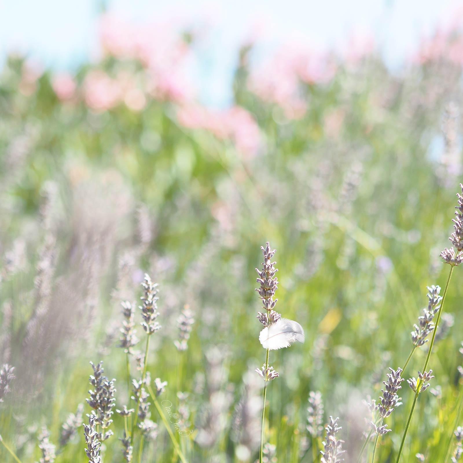 lavandin-jardin-plume-laboutiquedemelimelo
