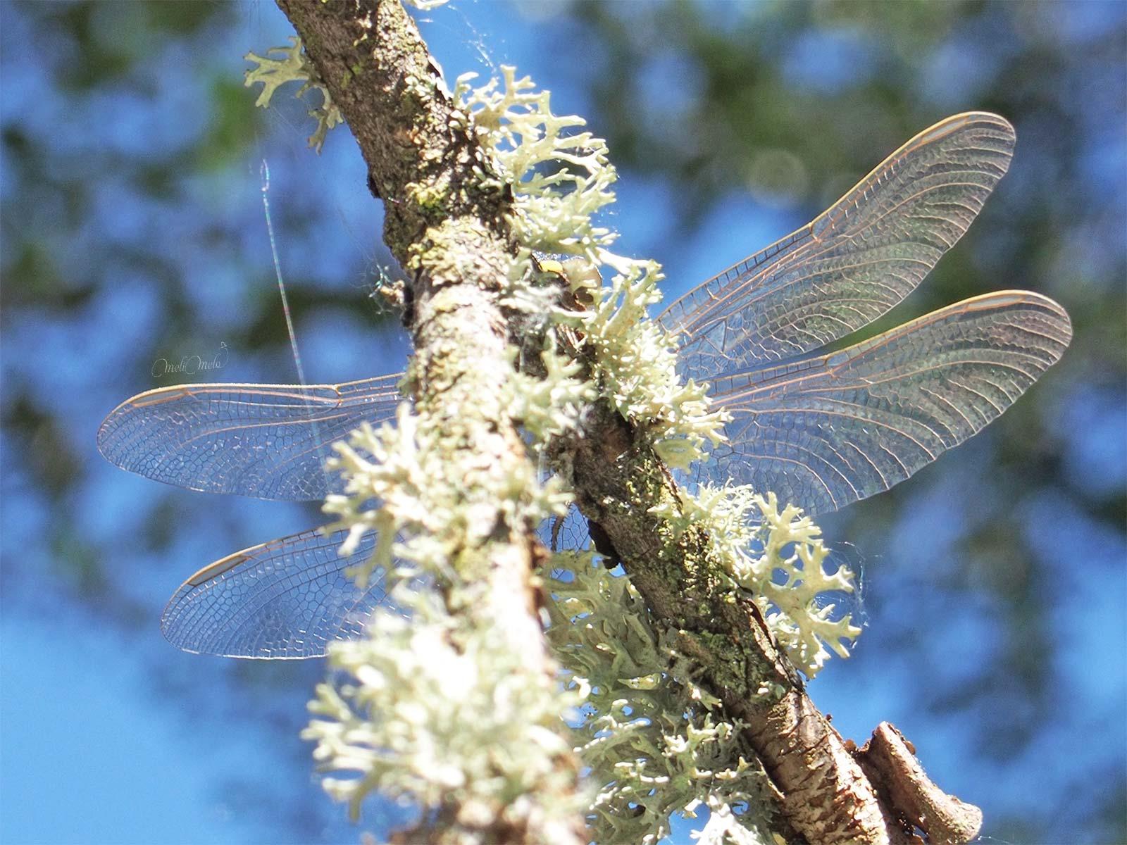 libellule-lichen-sanabria-zamora-laboutiquedemelimelo