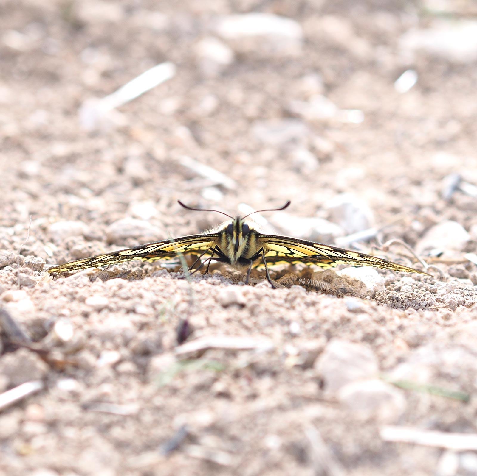mariposa-macaon-papilio-machaon-castilla-leon-yoniquenews-laboutiquedemelimelo