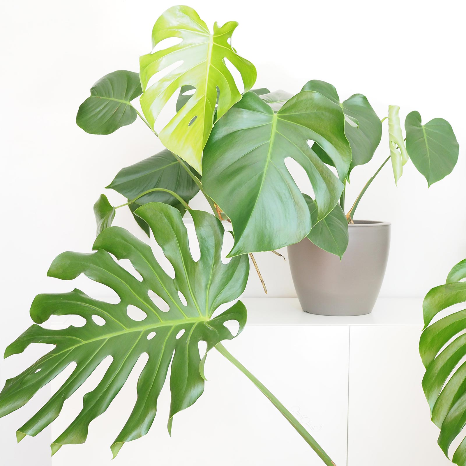 Monstera Deliciosa indoor plants green flowersbymelimelo laboutiquedemelimelo