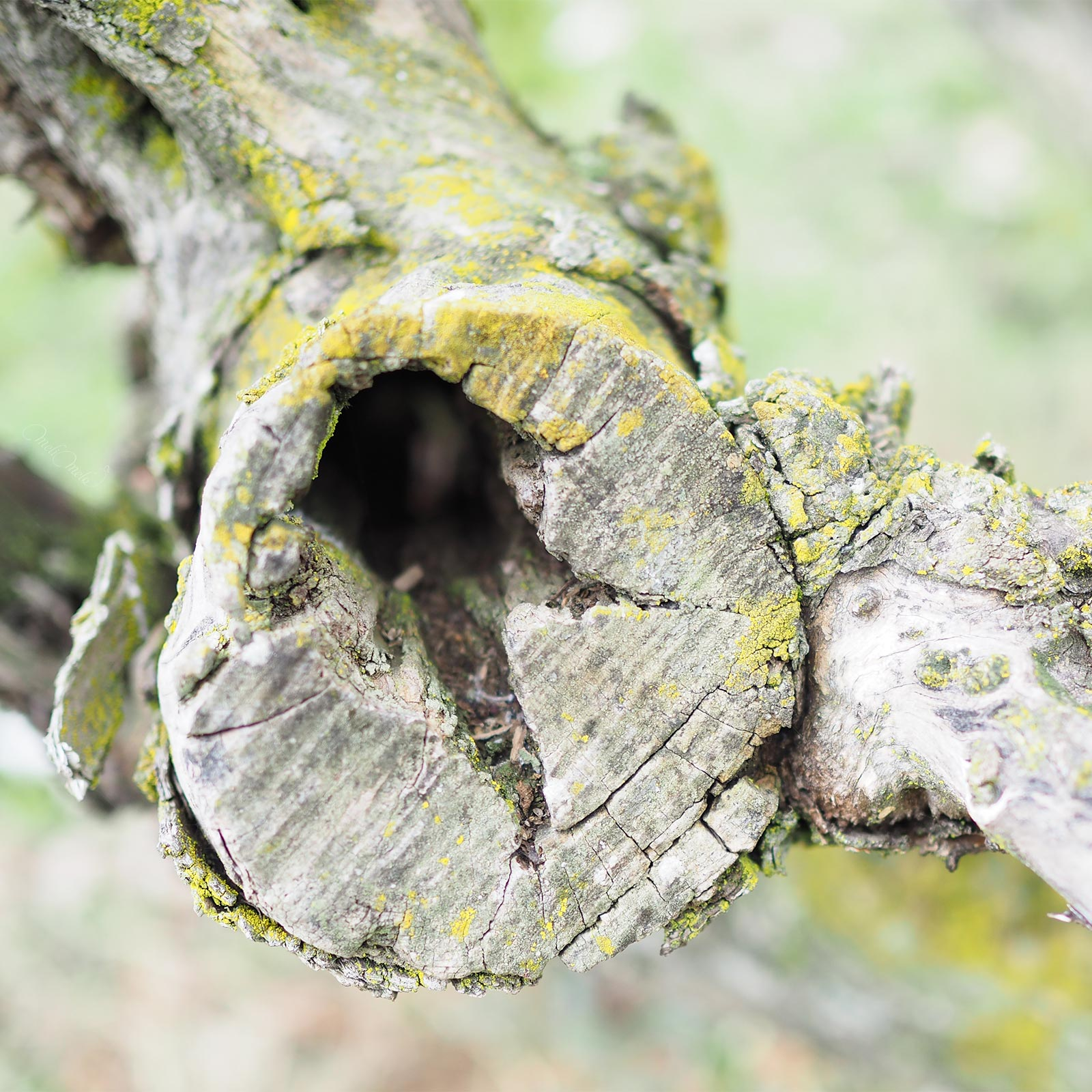 olivier-jardin-bamba-olivo-madera-invierno