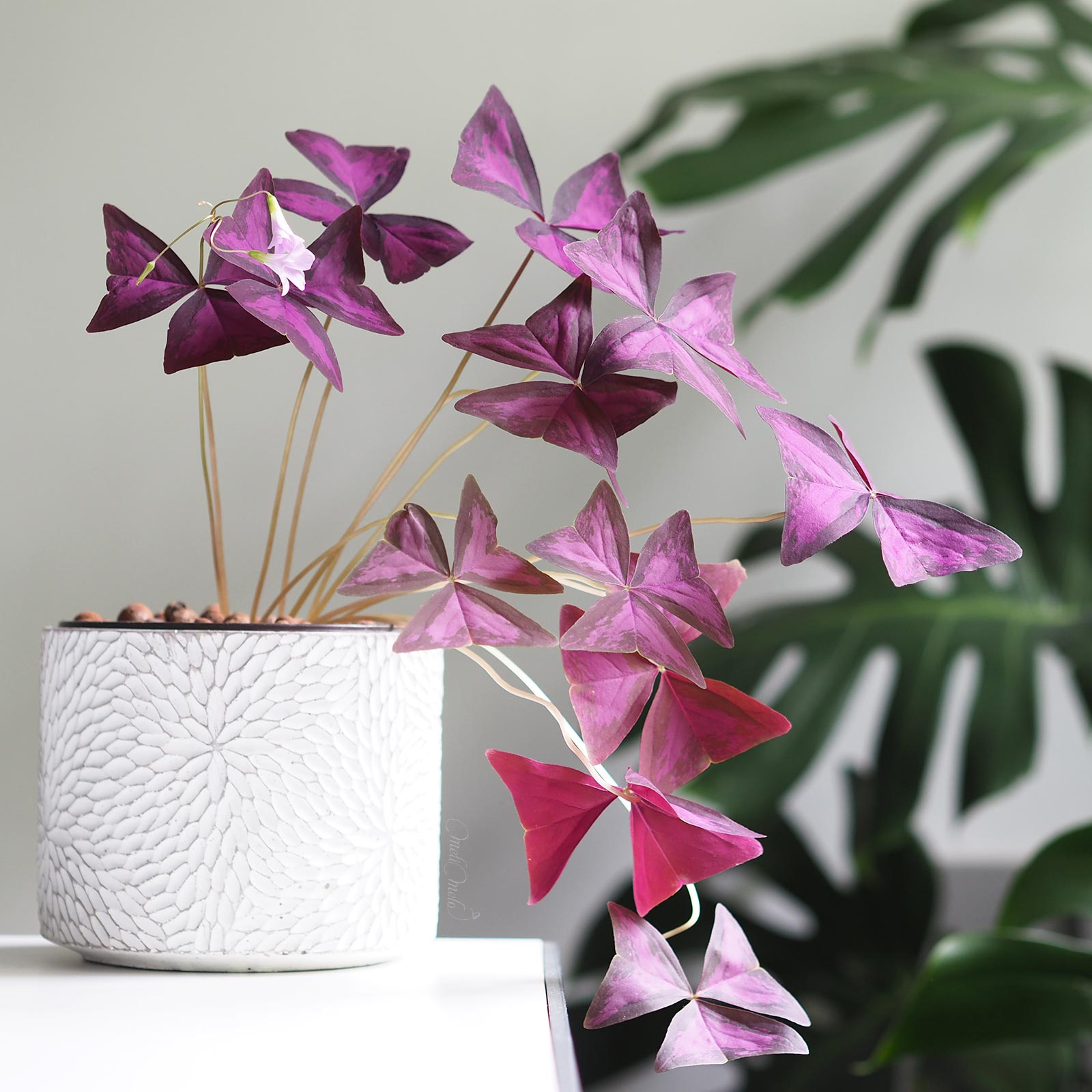 oxalis-pourpre-triangularis-entretien-laboutiquedemelimelo