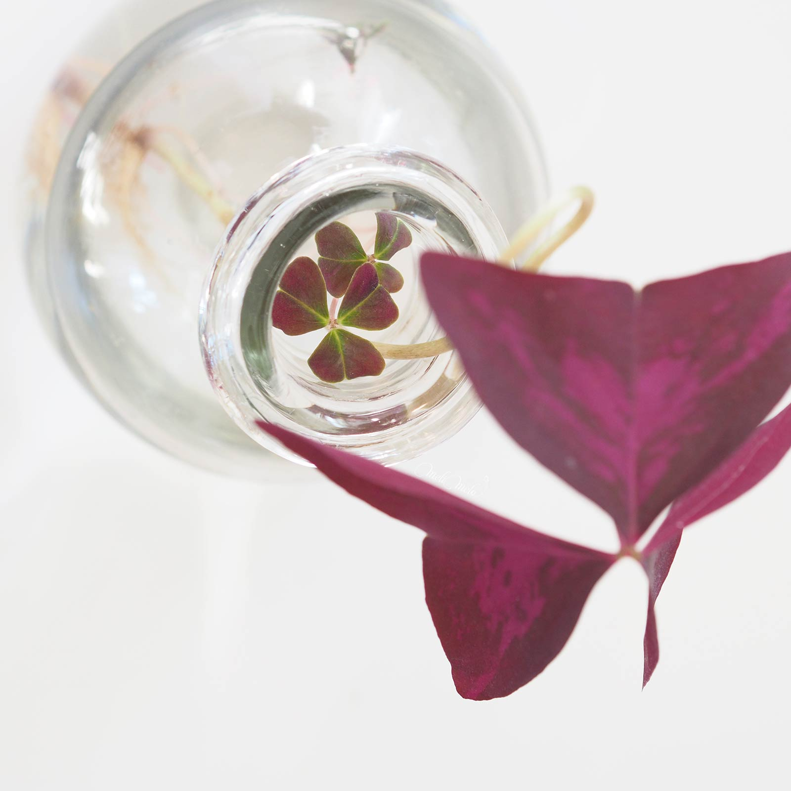 oxalis-triangularis-bouture-hydro-feuilles-6mois-laboutiquedemelimelo