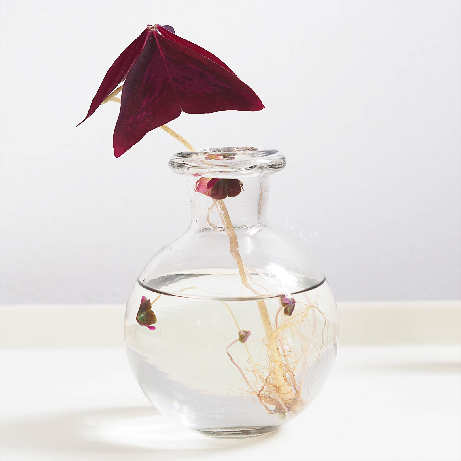 oxalis-triangularis-bouture-hydro-tubercule-7mois-laboutiquedemelimelo