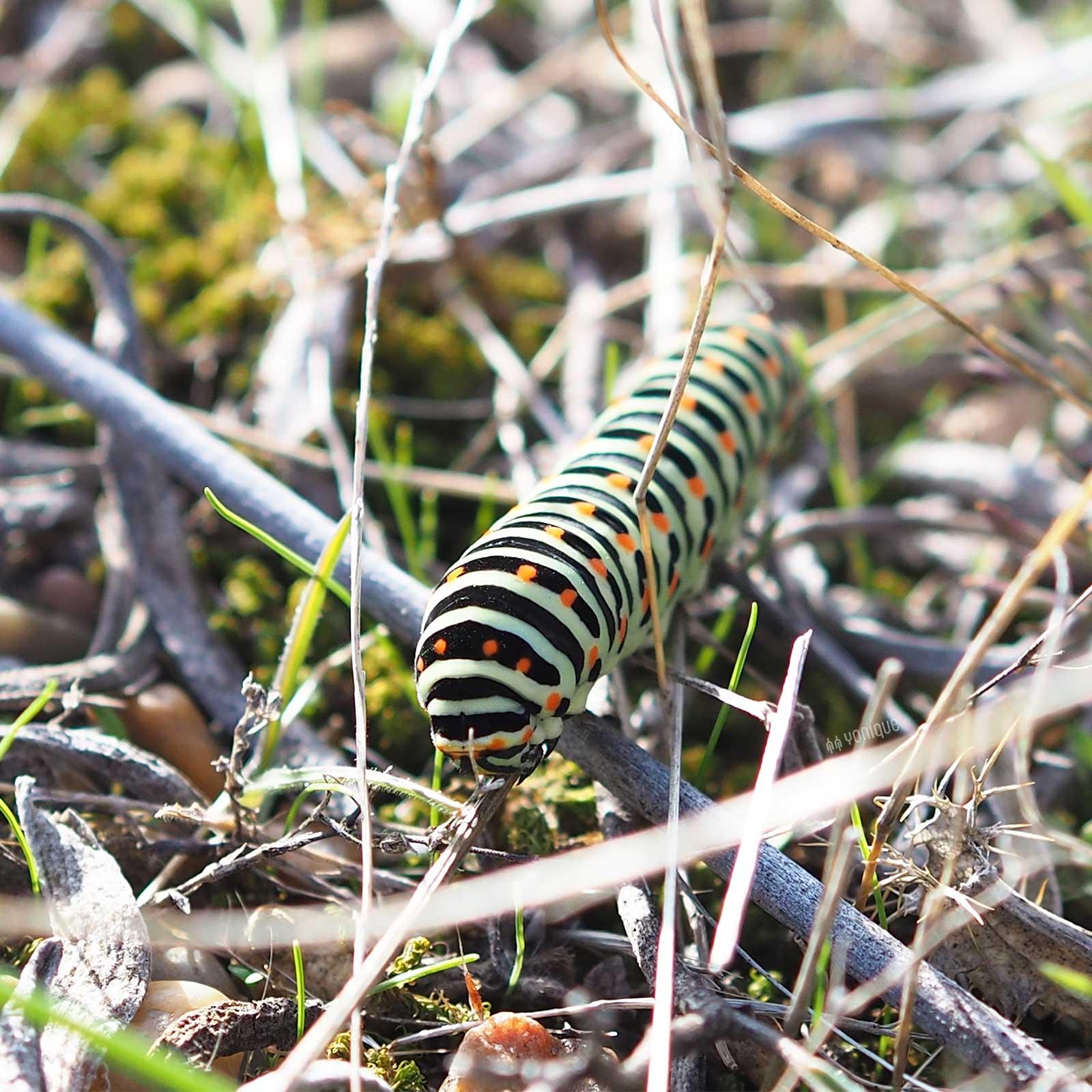papilio-machaon-caterpillar-spain-yoniquenews-laboutiquedemelimelo