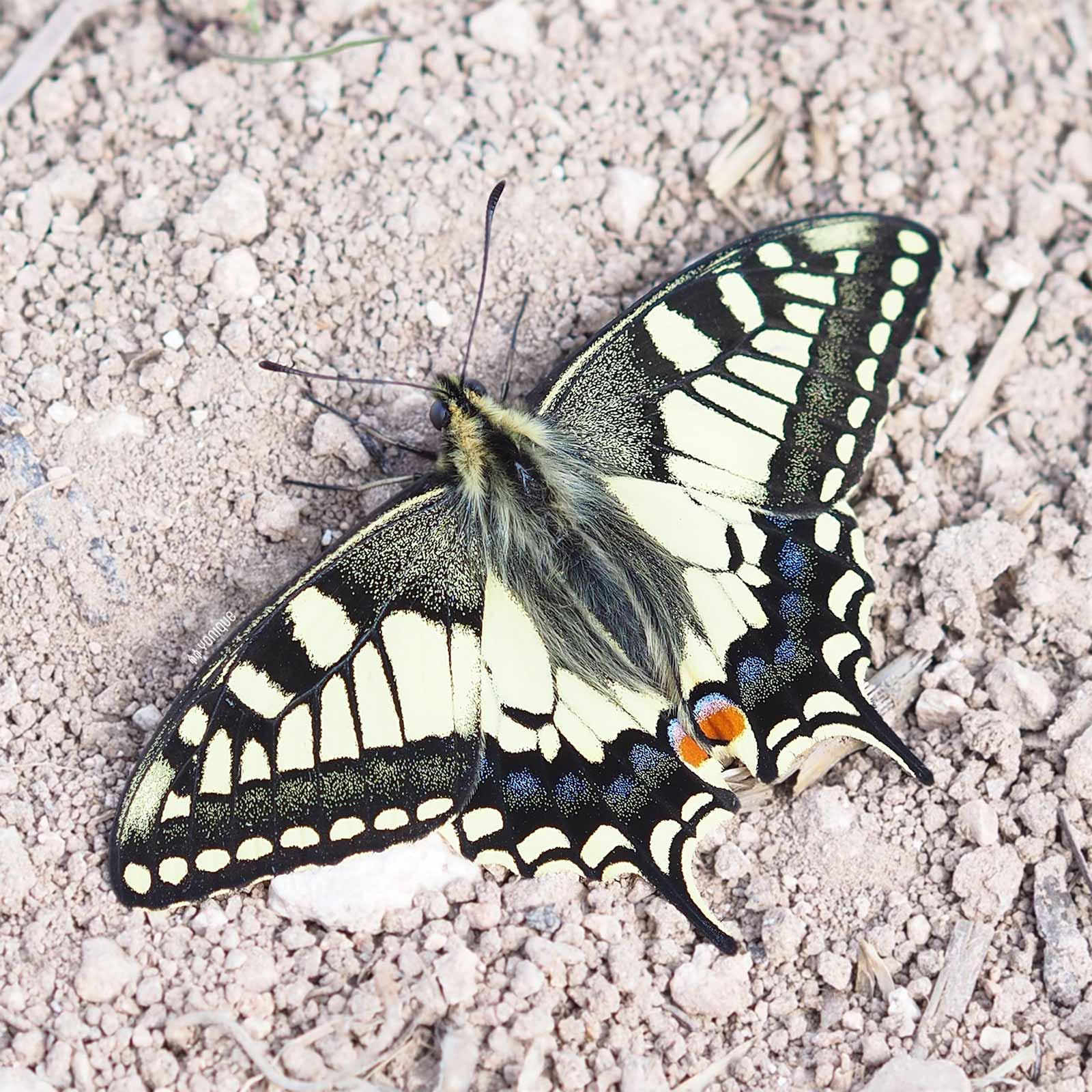 papilio-machaon-spain-papillon-yoniquenews-laboutiquedemelimelo