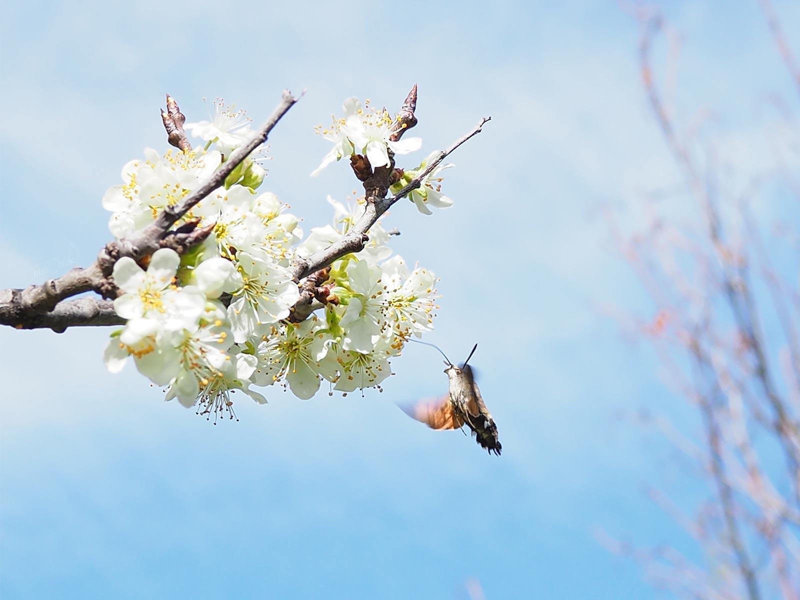 trompe papillon moro sphinx colibri avril printemps flowersbymelimelo laboutiquedemelimelo