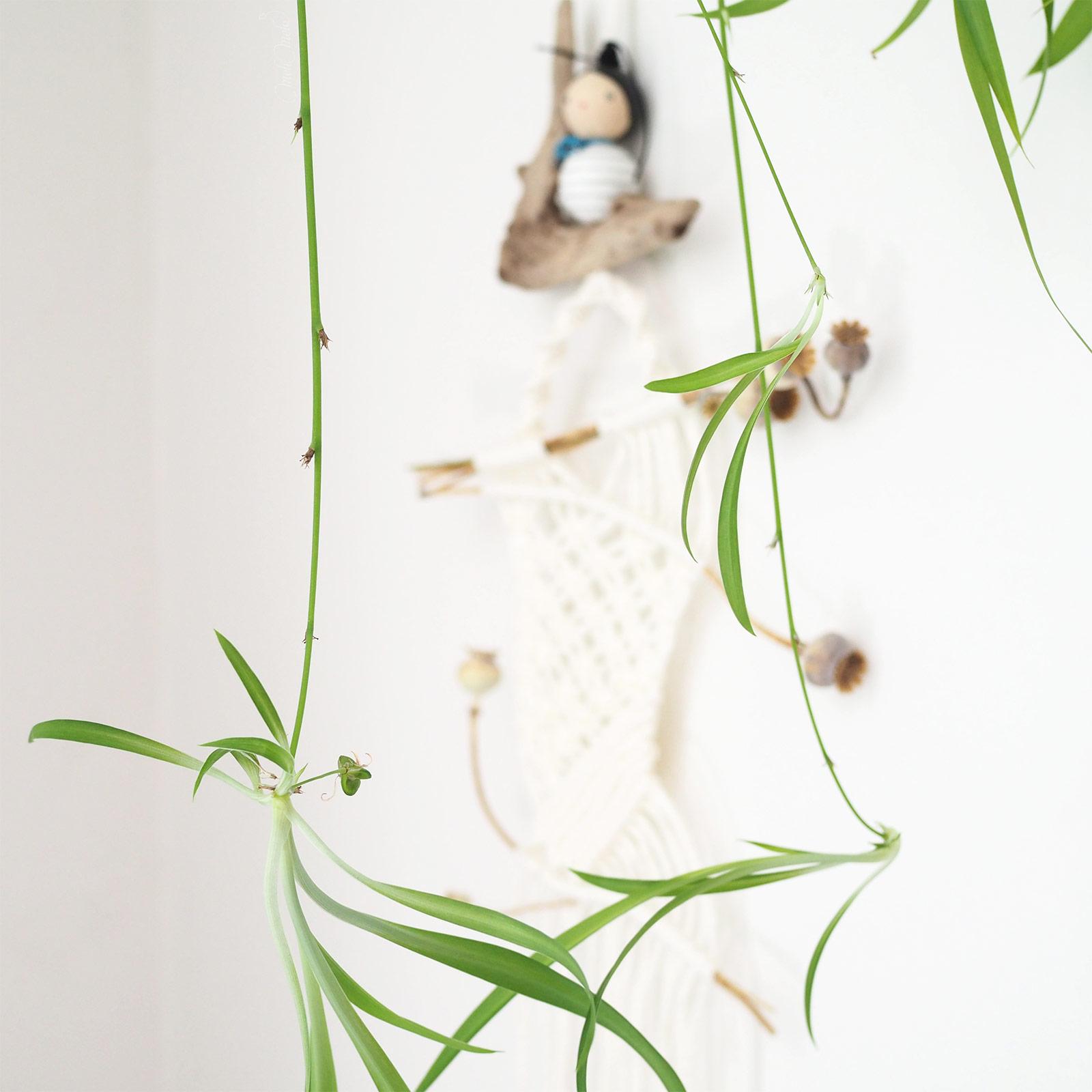 plante chlorophytum chevelu rejets plantule graines