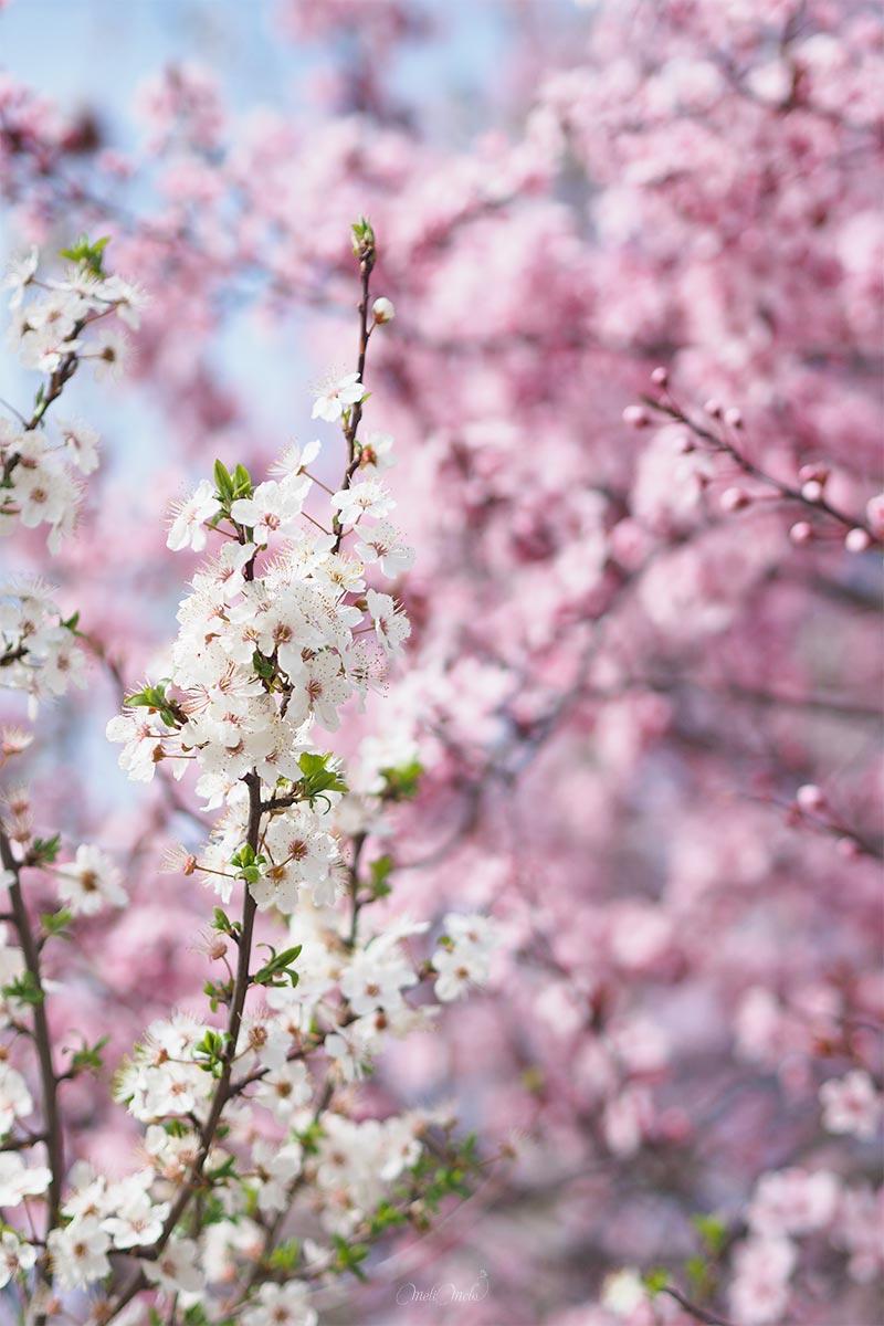 primavera prunus floración marzo valladolid yoniquenews