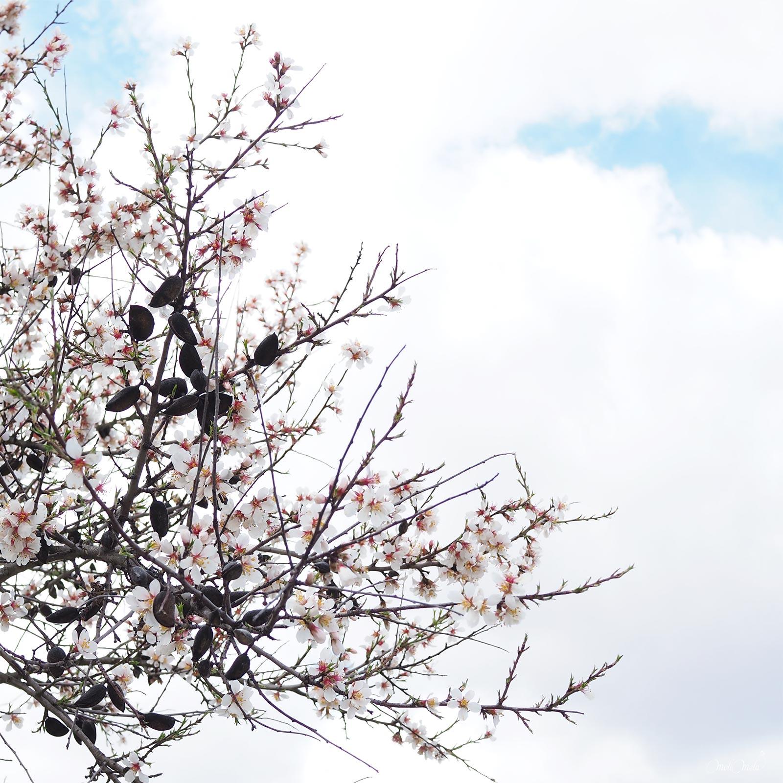 printemps fleurs amandiers flores almendros Zamora laboutiquedemelimelo