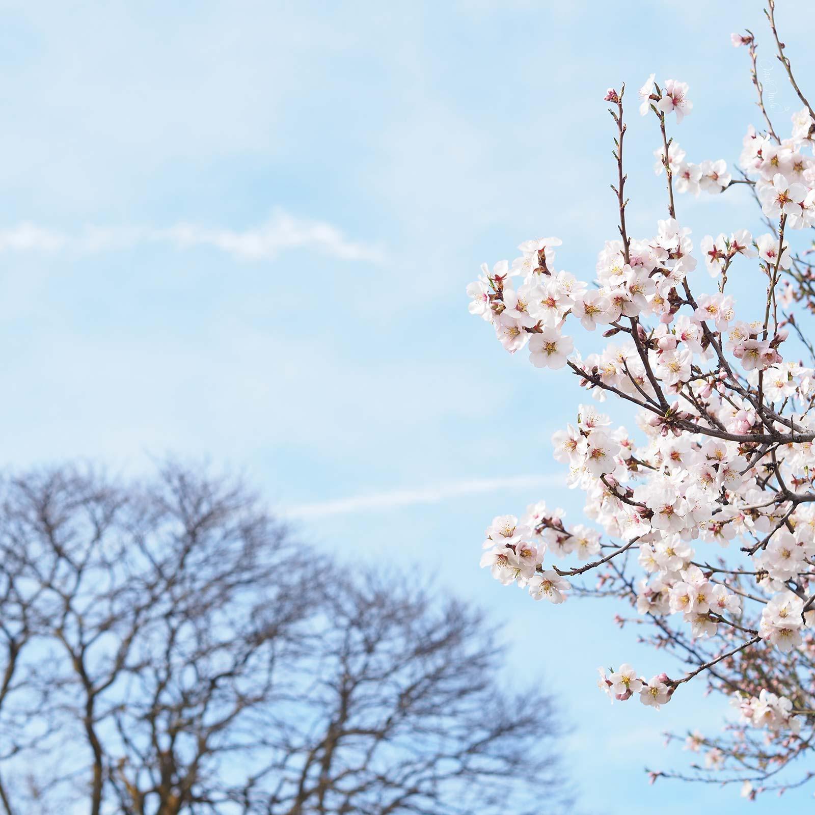 printemps-prunus-dulcis-amandier-valladolid-flowersbymelimelo-laboutiquedemelimelo