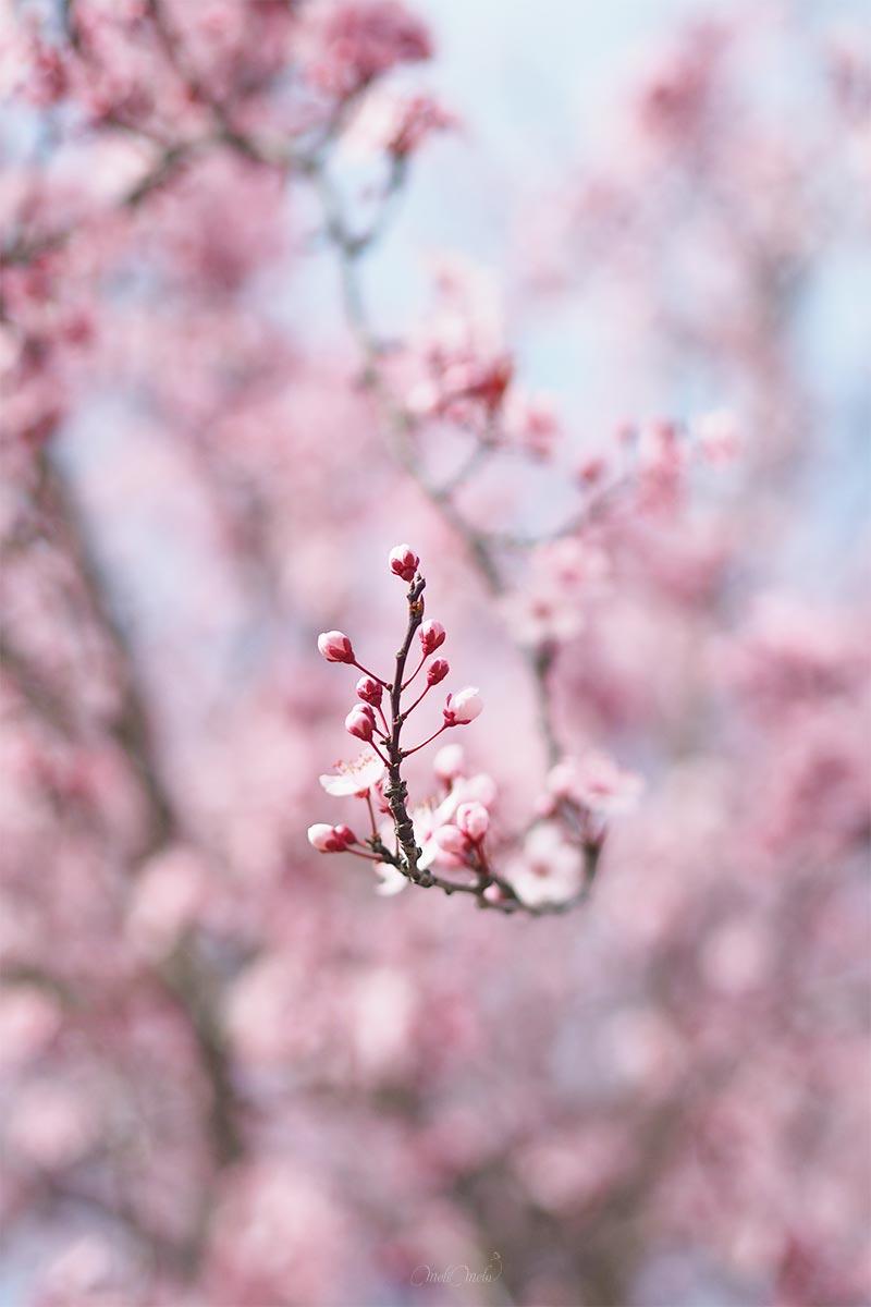 prunus floración marzo en bici valladolid yoniquenews