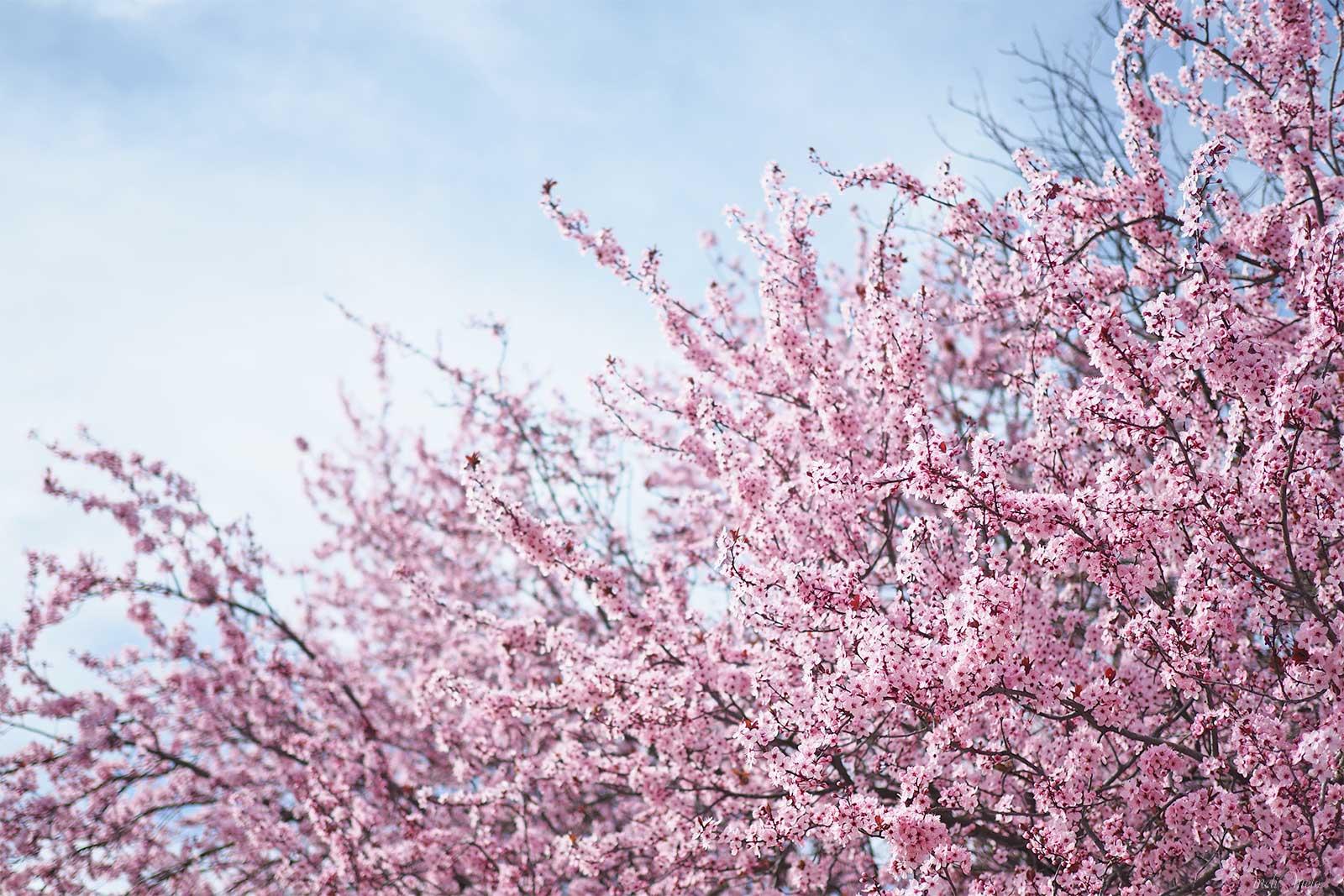prunus floraison mars à bicyclette yoniquenews