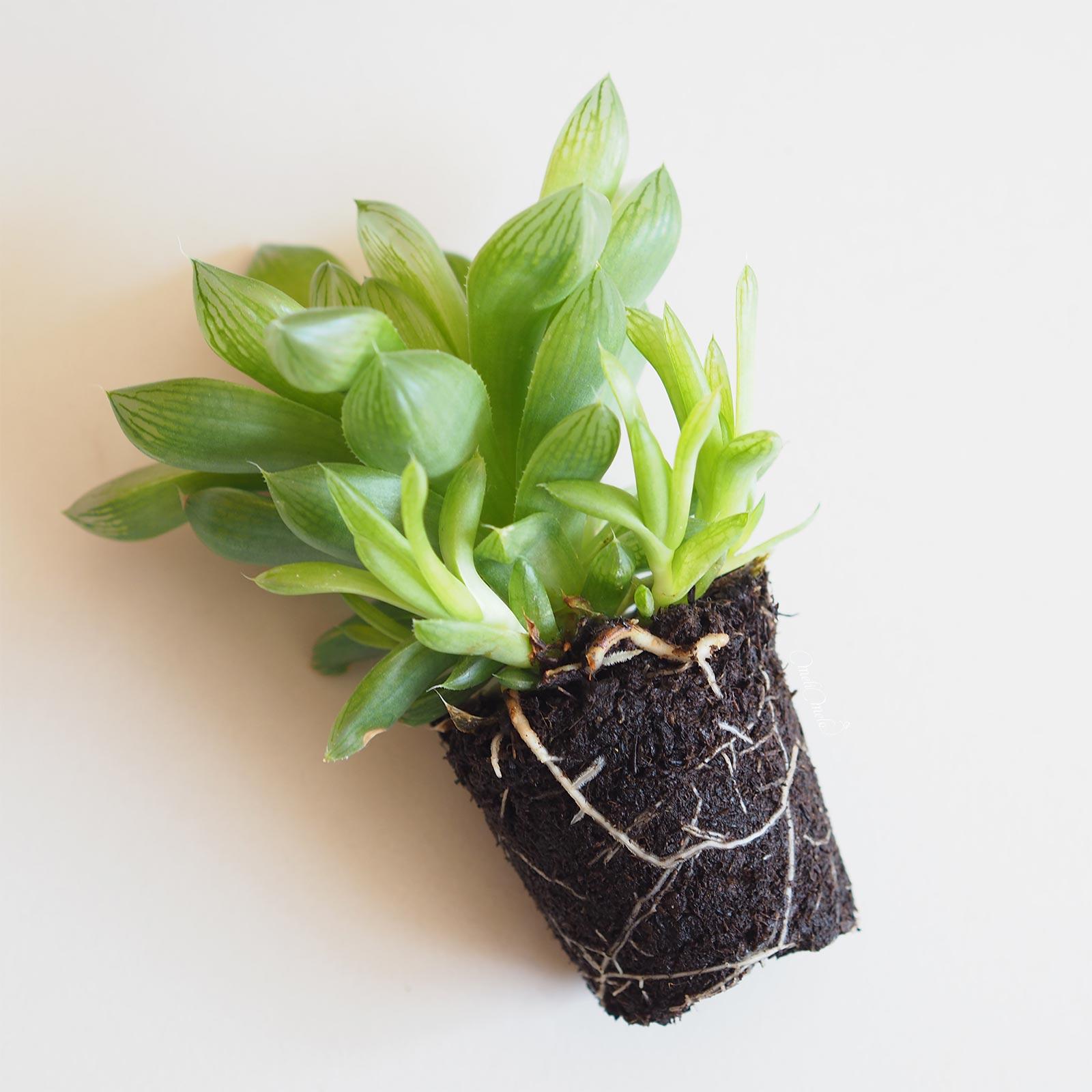 racines bouturages succulent Haworthia Cymbiformis La Boutique de MeliMelo