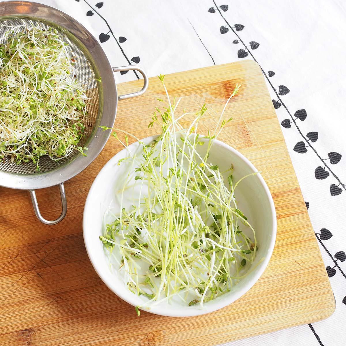 récolte pousses bio alfalfa lentilles fenugrec jour 10