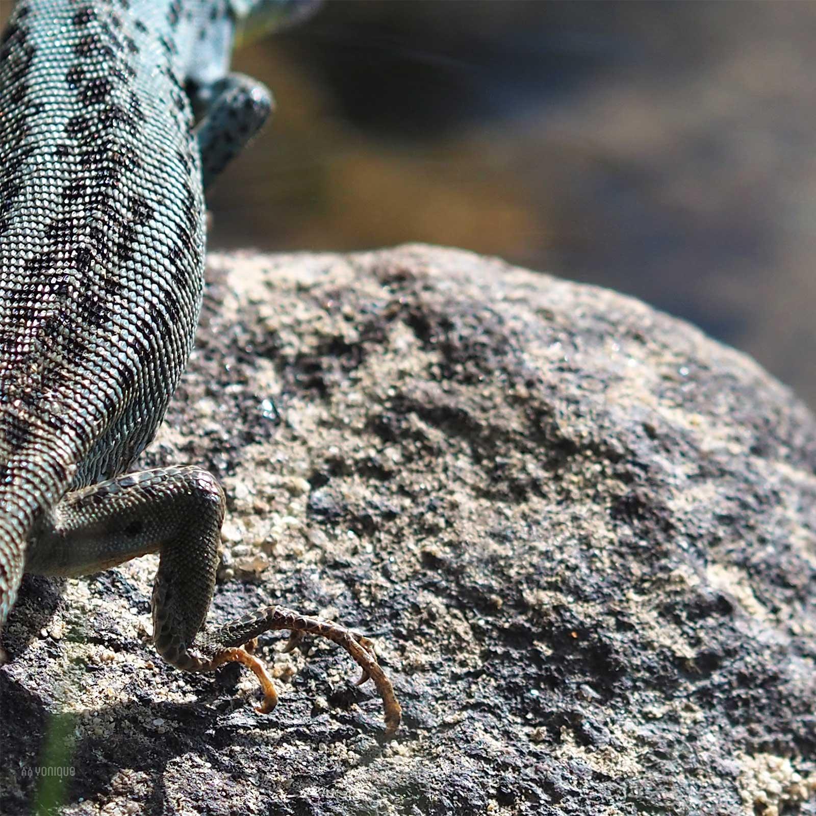 reptil azul primavera rio tera sanabria zamora yonique news