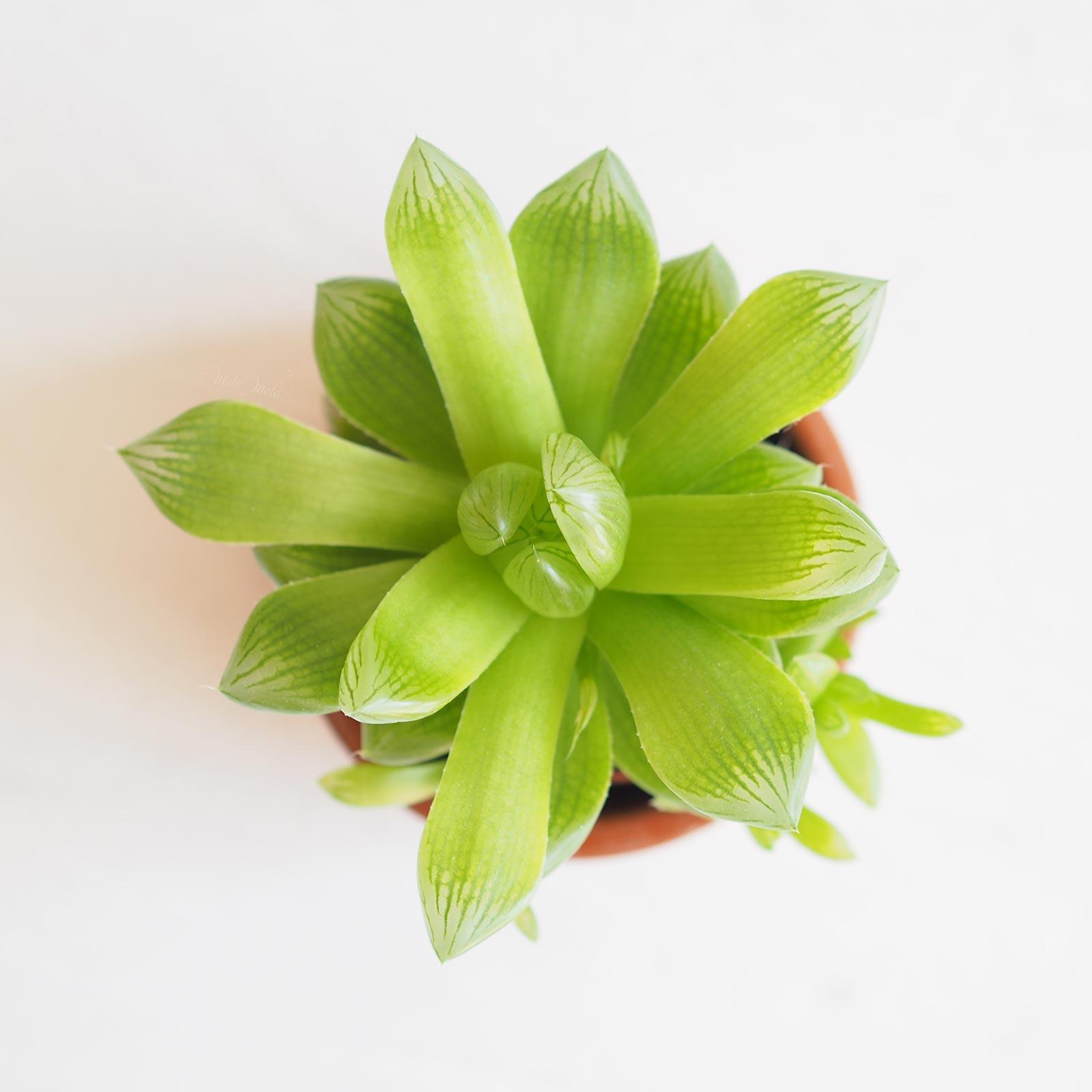 rosette charnue succulent Haworthia Cymbiformis La Boutique de MeliMelo