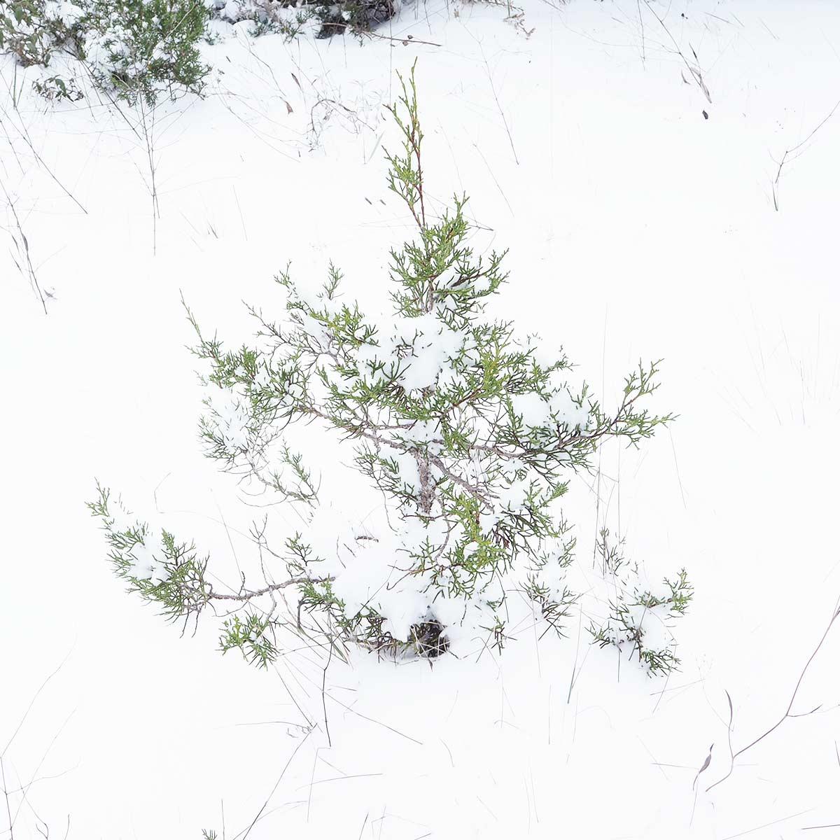 sabina-enebro-Juniperus-phoenicea-genevrier-montes-del-cerrato-nevada-2021-yoniquenews