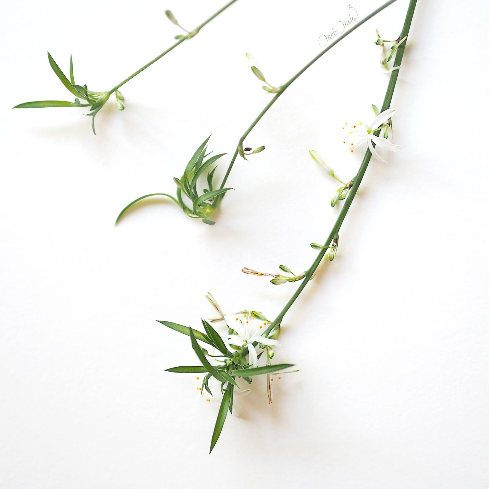 Spider Plant floraison Chlorophytum Comosum Variegatum laboutiquedemelimelo