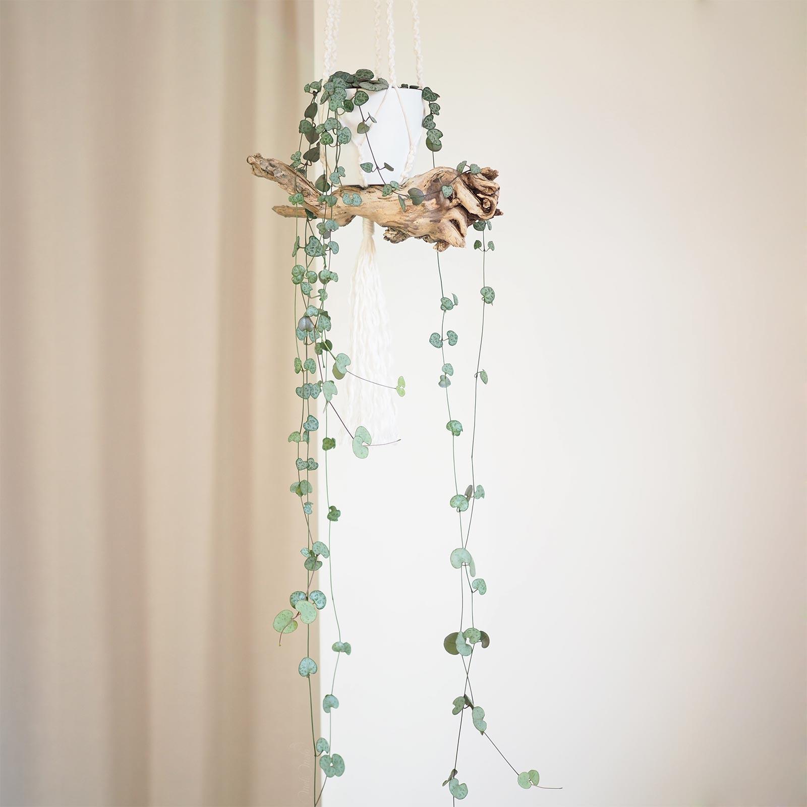 ceropegia woodii suspension macramé corde lin Belfast Linen Undyed Airedale Yarns racine bois laboutiquedemelimelo
