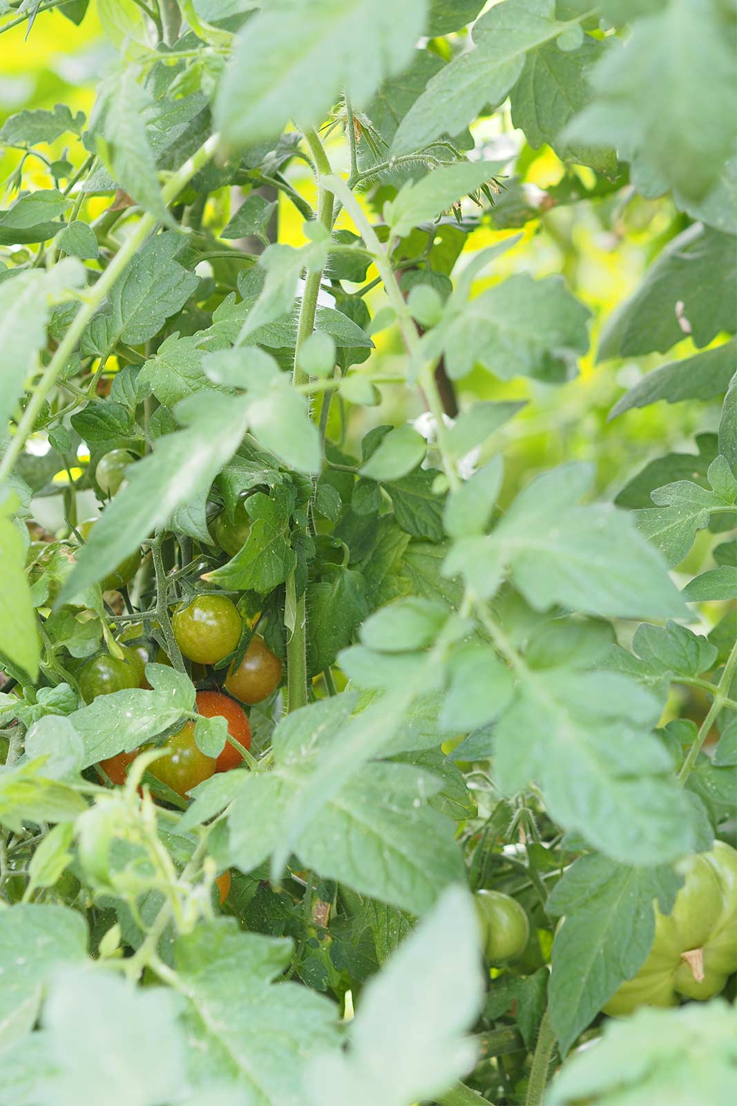 tomate-potager-huerto-agosto-laboutiquedemelimelo