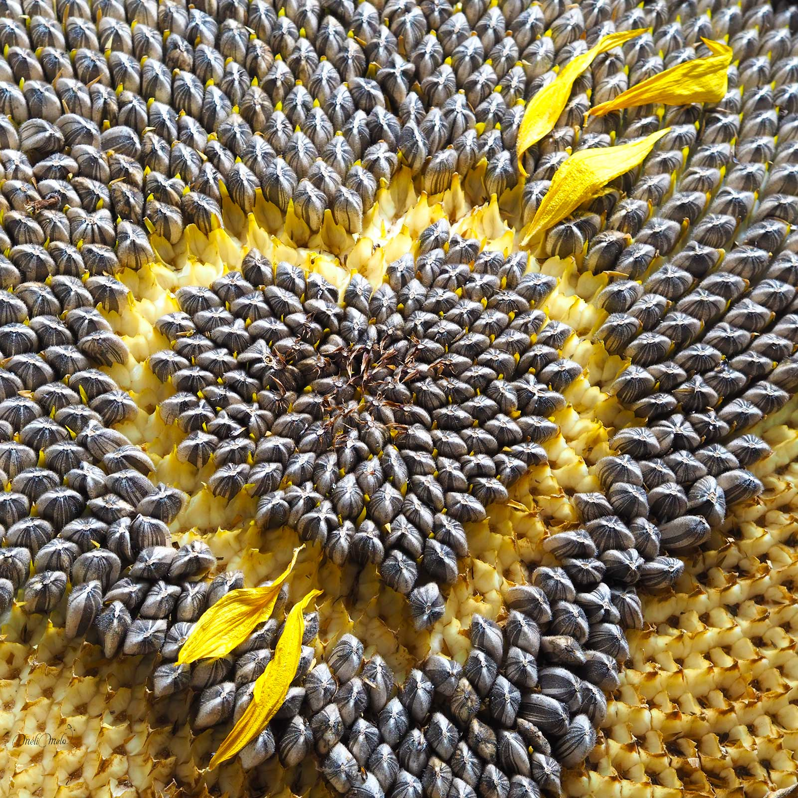 tournesol coeur amour graines sunflower love laboutiquedemelimelo