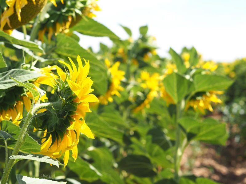 tournesol sunflower girasoles Castilla y León fields summer verano Spain laboutiquedemelimelo