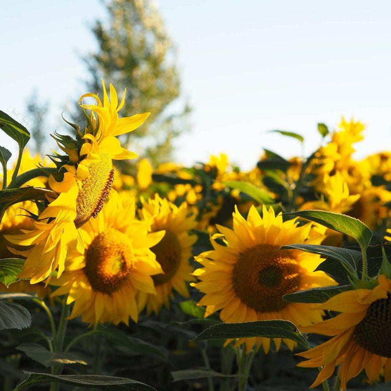 coucher de soleil champs tournesols sunflowers Castilla y León summer blue sky Spain laboutiquedemelimelo